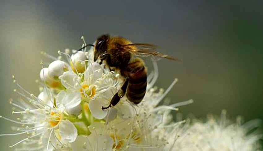 ¿Cómo hacen las abejas la miel?